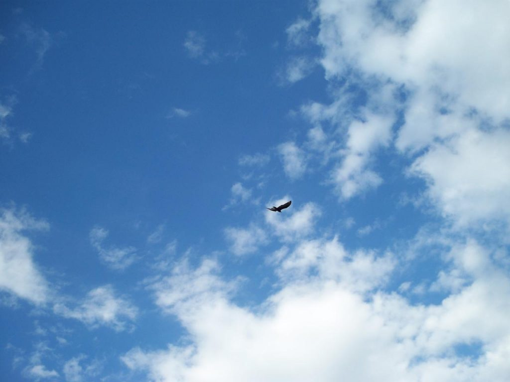 Alpa Corral ave carroñera volando