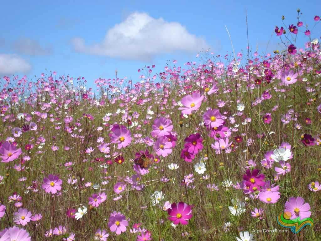 Campo de Flores las Lagunitas Alpa Corral
