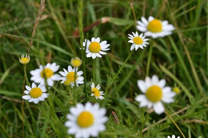 Alpa Corral flores blancas