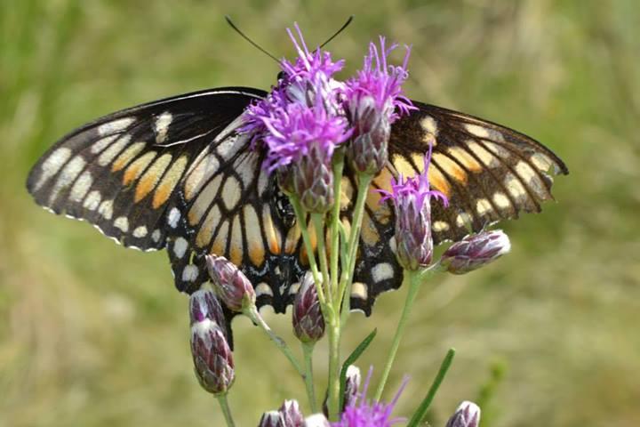Alpa Corral mariposa